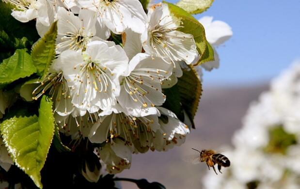 Disfruta del Cerezo en Flor por el Jerte