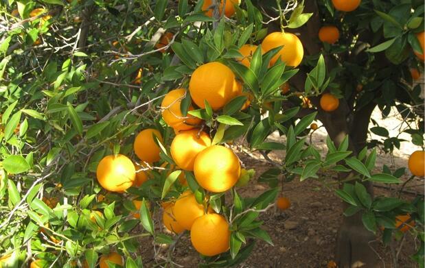 Caja 10 kg de Naranjas Valencia