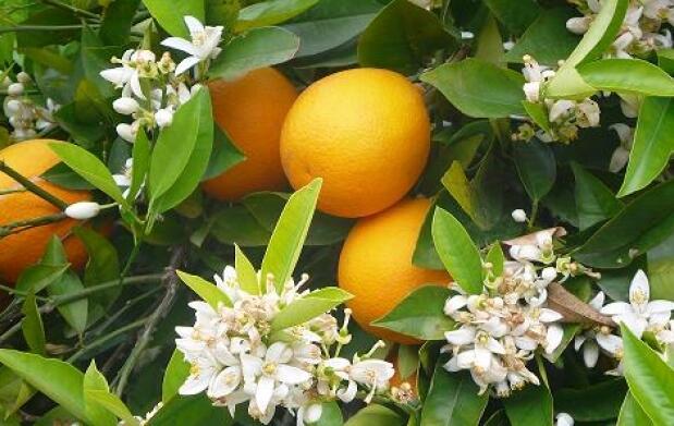 15 kg de auténticas naranjas valencianas