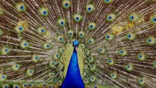 Un espectacular pavo real