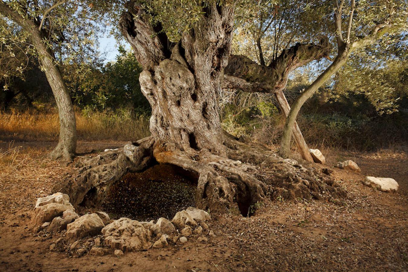 España, el último reducto de olivos milenarios