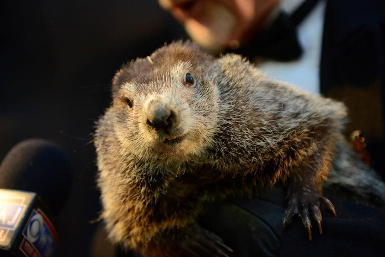 Primer plano de la marmota Phil.